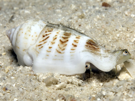 humpbacked conch
